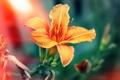 Картинка лилия, оранжевая, лепестки