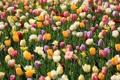 Картинка лето, цветы, парк цветов Кекенхоф