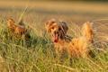 Картинка собаки, поле, лето