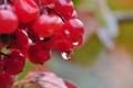 Картинка капли, природа, ягода, калина