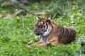 Картинка тигр, отдых, хищник, лежит, дикая кошка