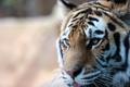 Картинка морда, полоски, тигр, профиль