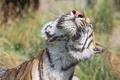 Картинка кошка, морда, брызги, тигр, мокрый, амурский, ©Tambako The Jaguar