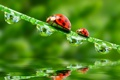 Картинка a blade of grass, капли, божьи коровки, ladybugs, water, вода, drops
