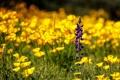 Картинка фиолетовый, цветы, поляна, желтые, полевые, львиный зев