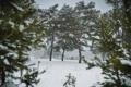 Картинка зима, Природа, сосна, область, Калужская