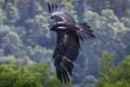Картинка Клинохвостый орёл, крылья, полёт
