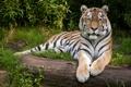 Картинка кошка, трава, тигр, бревно, амурский