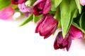 Картинка букет, тюльпаны, белый фон, розовые, бордовые