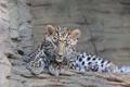 Картинка взгляд, отдых, леопард, котёнок, дальневосточный