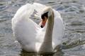 Картинка шея, белый, грация, блики, вода, лебедь