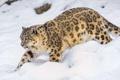 Картинка снег, хищник, ирбис, снежный барс, snow leopard