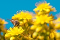 Картинка насекомое, пчела, лепестки, небо, цветы