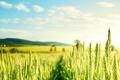 Картинка злаки, поле, зеленые, пшеница, солнечно