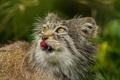 Картинка язык, кошка, взгляд, манул