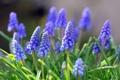 Картинка цветы, вверх, синие, гроны