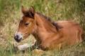 Картинка конь, отдых, лошадь, малыш, лежит, детеныш, жеребенок
