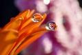 Картинка цветок, вода, капли, роса, отражение, лепестки