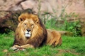 Картинка кошка, трава, взгляд, отдых, лев