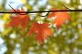 Картинка осень, листья, природа, ветка, клен