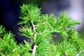 Картинка ель, хвоя, сосна, кедр, close pine