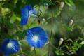 Картинка цветы, природа, синие, лиана, вьюнок, ипомея