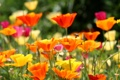 Картинка поле, пчела, маки, луг, насекомое