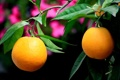 Картинка листья, ветки, дерево, апельсины, плоды
