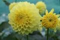 Картинка цветок, желтый, лепестки, цветение, георгин