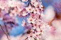 Картинка макро, весна, Cherry Blossoms