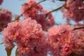Картинка небо, макро, деревья, цветы, ветви, весна, лепестки