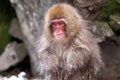 Картинка природа, фон, Japan, Nagano, Snow monkey