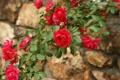 Картинка цветы, куст, розы, лепестки, красные