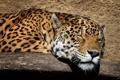 Картинка морда, спит, ягуар