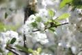 Картинка листья, свет, цветы, ветки, вишня, блики, ветви