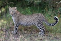 Картинка кошка, трава, леопард, детёныш
