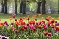 Картинка цветы, парк, Германия, тюльпаны, клумба, Баден-Вюртемберг, Баден-Баден