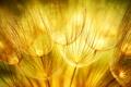 Картинка макро, природа, одуванчики, золотые, соцветие, Golden dandelions