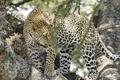 Картинка дерево, листва, хищник, ветка, леопард
