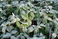 Картинка green, plant, raspberry bushes