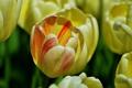 Картинка макро, бутон, тюльпаны