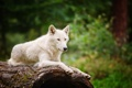 Картинка белый, волк, размытость