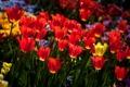 Картинка солнце, весна, желтые, тюльпаны, красные, много