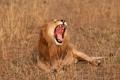 Картинка звери, саванна, лев, Африка