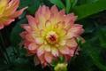 Картинка листья, цветок, розово-желтый, цветение, капли, георгин