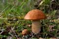 Картинка природа, грибы, подосиновик