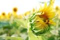 Картинка листья, подсолнухи, желтый, растение, солнечный день