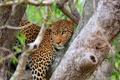 Картинка взгляд, дерево, хищник, леопард, саванна