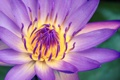 Картинка цветок, макро, сиреневый, водяная лилия
