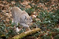 Картинка кошка, листья, ветки, бревно, рысь